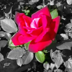 photography nature colorsplash rose