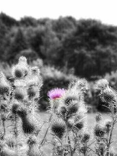 photography hdr blackandwhite flower nature