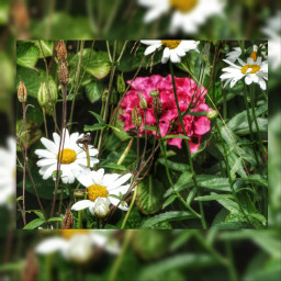 photography hdr flower summer