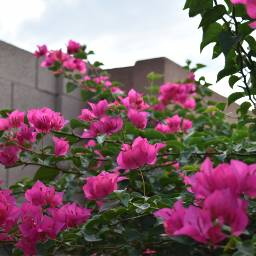 pinkandgreen clouds sky nature photography flowers brickwall pov