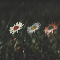 holga daisy photography summer