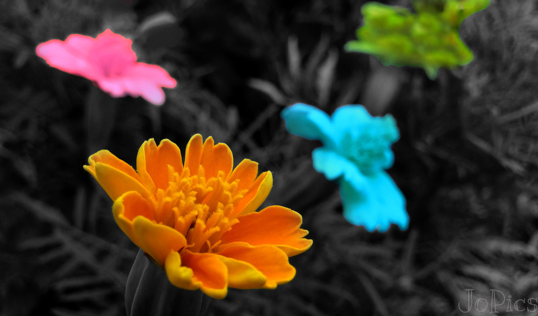 #colorsplash #photography #nature #summer #spring #flower #colorful #blackandwhite #popart  #cute #sepia #retro #macro