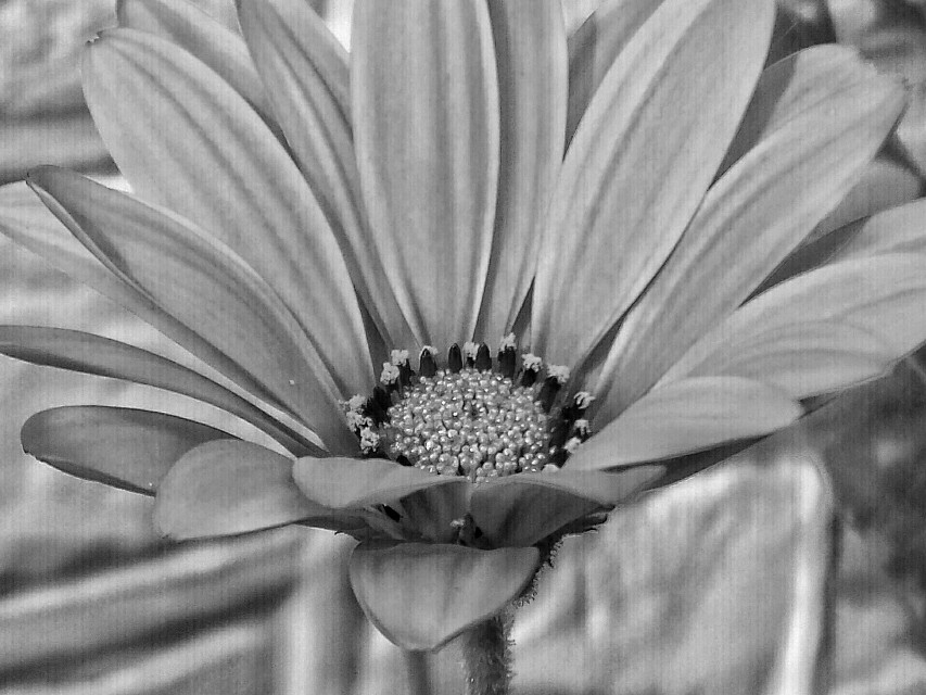 #photography #blackandwhite   #flower #