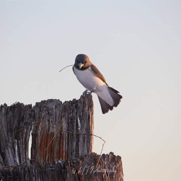 bird swallow nature nesting