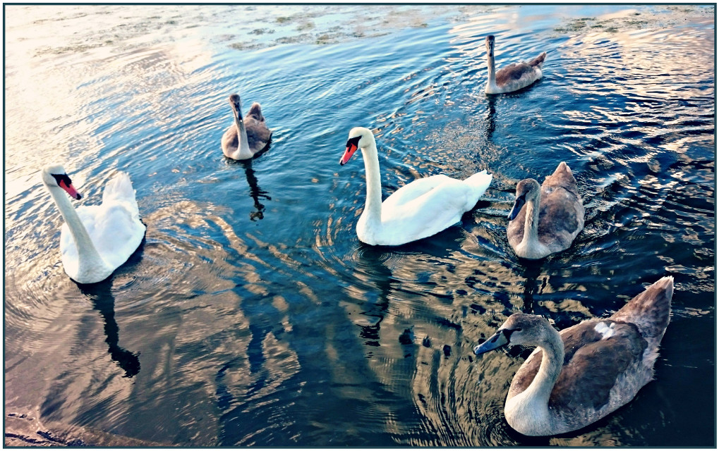 Swan family  #nature #colorful #photography #summer  #swan  #hdr  #family
