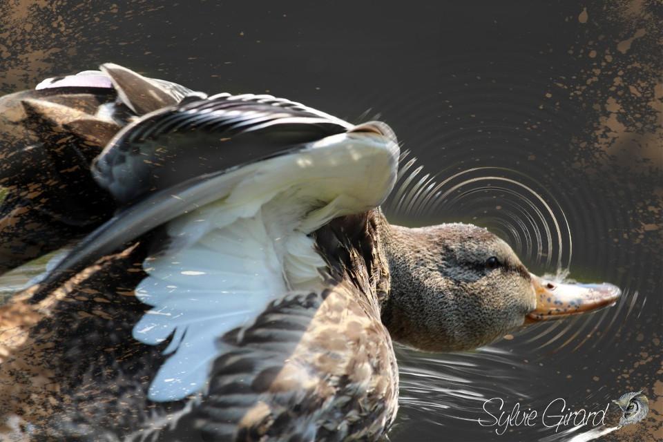 #birds #duck #motion