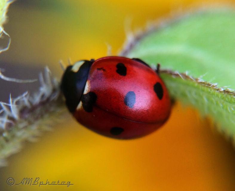 Lovely Ladybug  #macro  #ladybug  #nature  #red