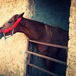 horse beautiful libya Tripoli
