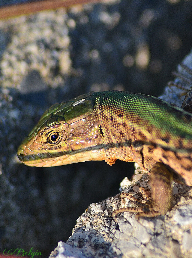 #lizard #green #animals #nature #photography