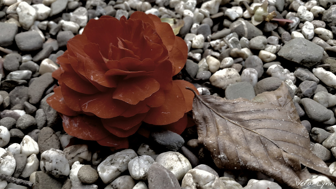 Fallen  #desaturated  #red #flower  #dry  #brown #leaf  #stone #stones  #garden #outdoors #nature #photography #close-up #color  #disaturated  #emotions #emotion