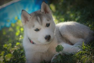 photography cute dogs husky puppies