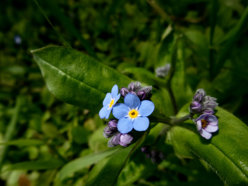 #forgetmenot #blue #blooms #flower #bloom #macro #blossoms