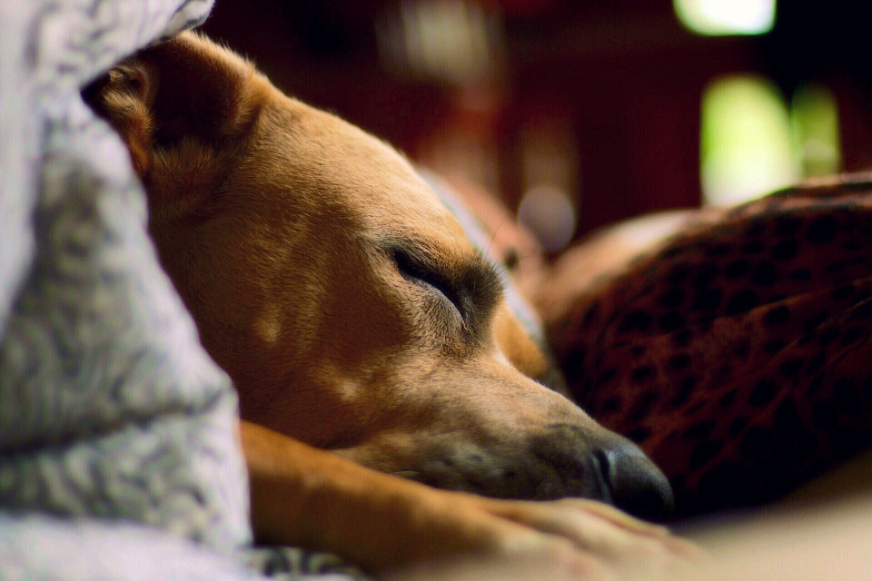 #dog #dslr #pets&animals #canon #hund #tiere #sleep #sleeping #bokeh