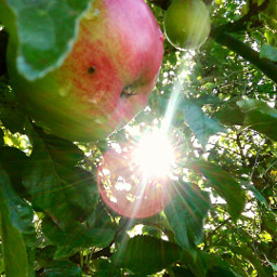 colorful nature apples sun