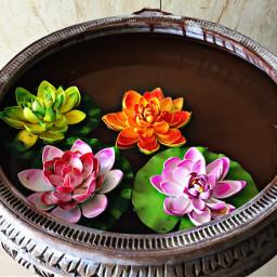 lotusflowers pond flowers iclicks
